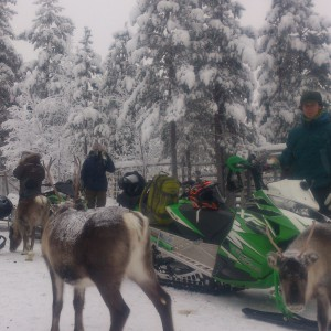 Reindeer on Snow mobile Safari