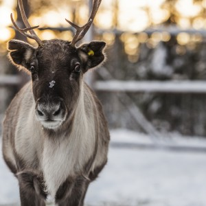 Reinder Swedish Lapland