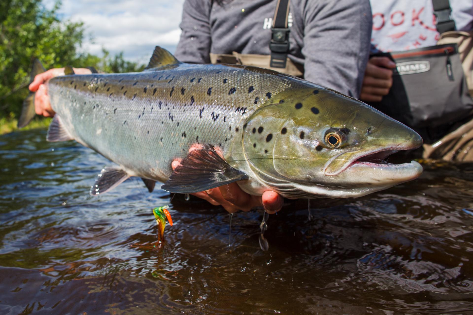 Salmon fishing Lapland Catch