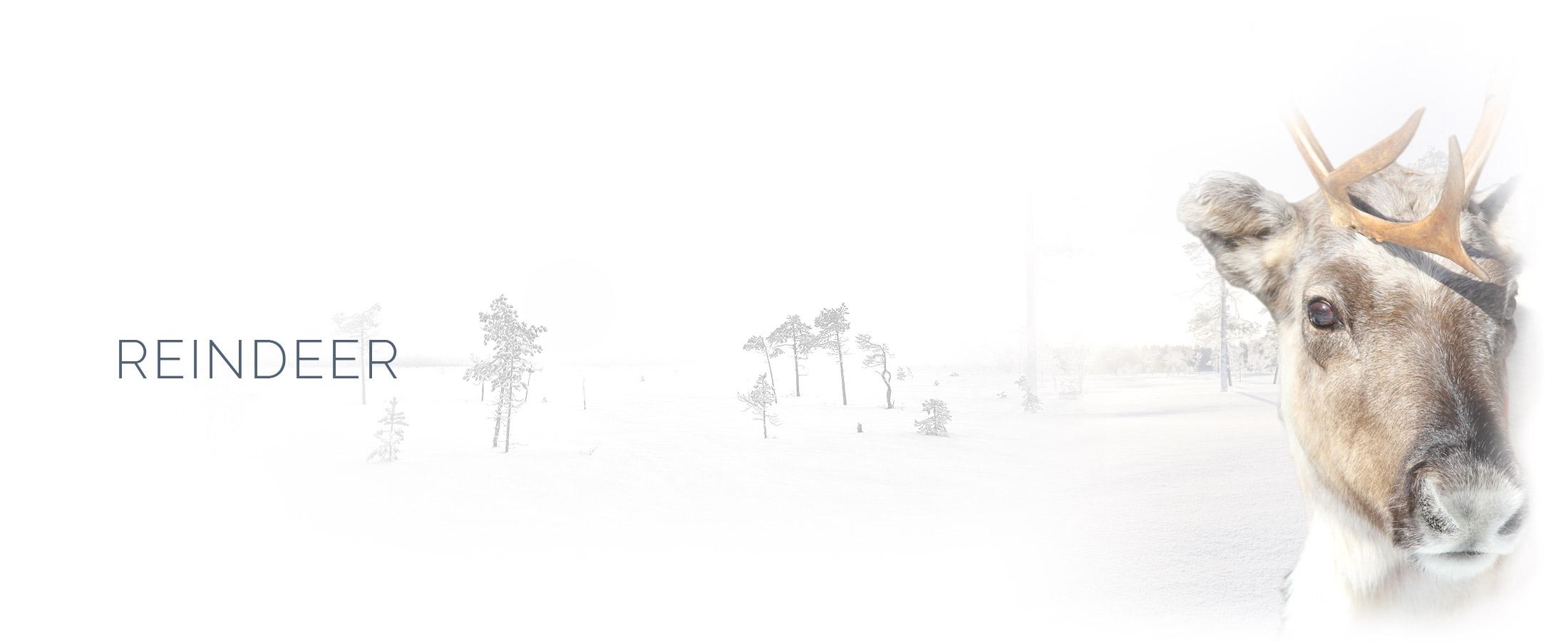 Lapland Guesthouse aktiviteter möt renarna